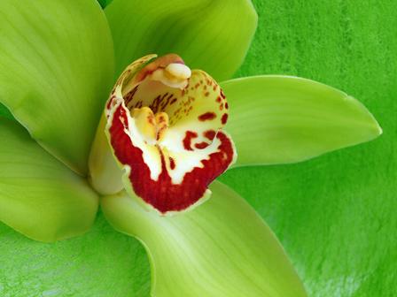 Cymbidium Orchids Hawaii Loose Green Cymbidium Orchid