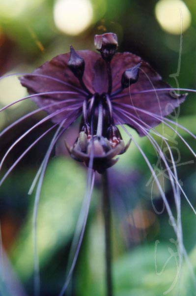 bat flowers