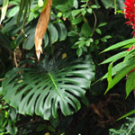 Hawaiian Tropical Foliage