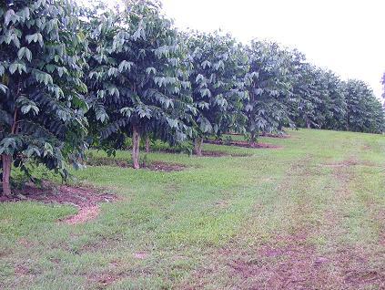 Pure Hawaiian Kona Coffee Plantation